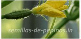 semillas de pepino