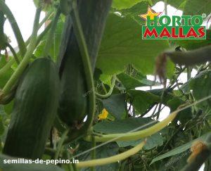 cultivos de pepino usando red tutora de hortomallas